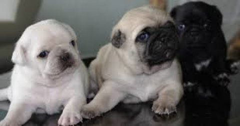 "AKC Pug Male Fawn ""Meatball\"" Champion Lines.contact us with any"