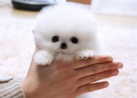 Toy Teacup AKC Tiny Teacup Pomeranian Puppies For Adoption**.