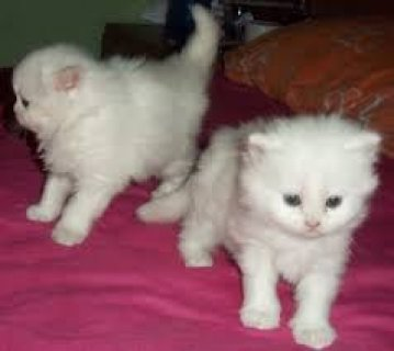 Persian kitten last male for sale(marieyerbles@>g>m>a>i>l>.>c>o>