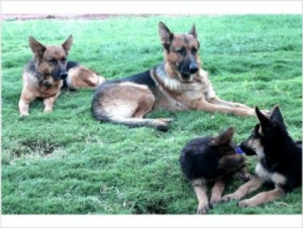 Males and females German Shepherd(dog) puppies available