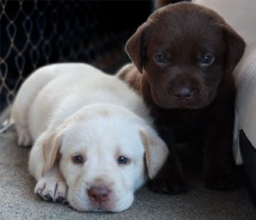 lLabrador Retreiver Puppies