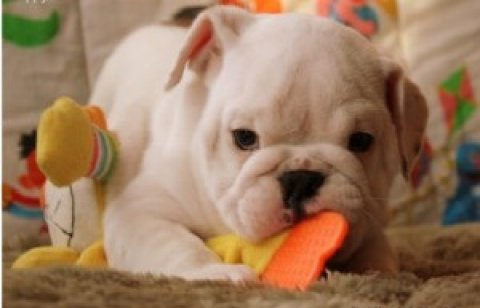 Healty English Bulldog puppies for adoption