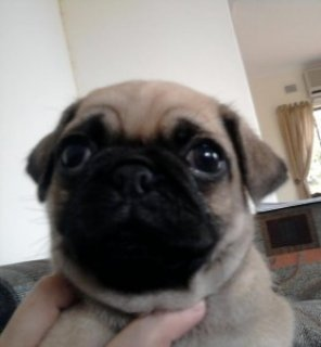 صور ADORABLE MALE AND FEMALE PUG PUPPIES  1