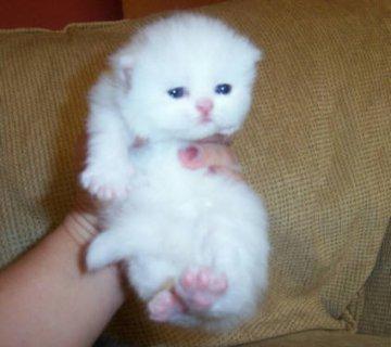 Cute White Persian female kitten for adoption11