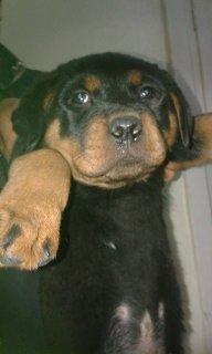 كلب رود فيلر بيور اكثر من رائع ذكر عمر 45 يوم للبيع