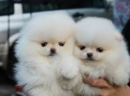 Top Quality Pomeranian Puppies Available For Sale