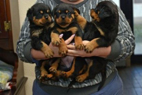 Rottweiler Puppies Available For Rehoming Now