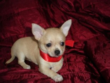 Male and Female Chihuahua Puppies