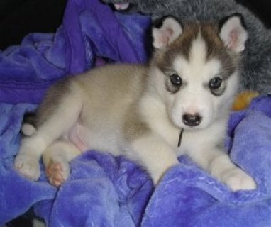 Super Cute Alaskan Malamute Puppies