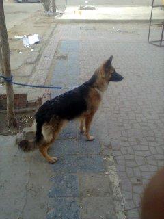 للبيع كلب جيرمن شيبرد لون هير مدرب