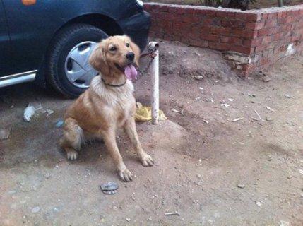 للبيع كلبة جولدن بسعر خرافي