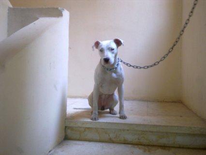للبيع كلبه دوجو ارجنتينو