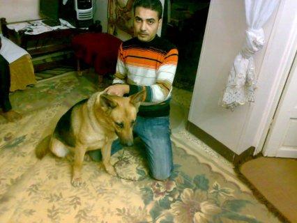 كلبه جيرمن شيبرد بيور عمرها سنه ونصف
