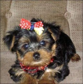Home Trained Male And Female Teacup Yorkie Puppies Available!!