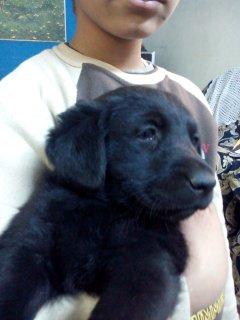 Pure Labrador Pupies جراوى لابرادور للبيع