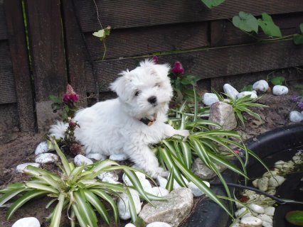 GORGEOUS MALTESE PUPPIES READY NOW