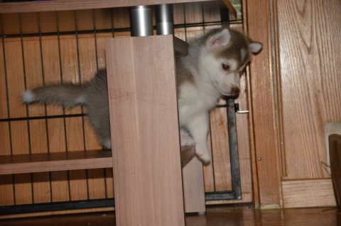 Siberian Husky puppies are ready to go out