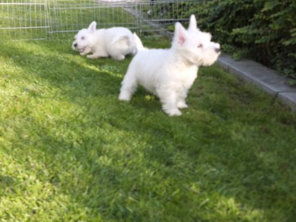 WHITE WEST HIGHLAND MALE AND FEMALE PUPPIES FOR CHRISTMAS