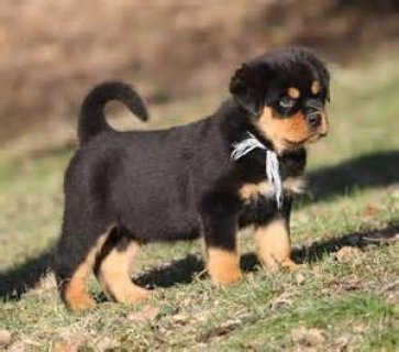 Rottweiler puppies are ready to go out