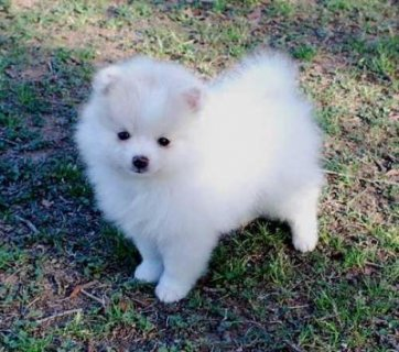 I have a male and female purebred Pomeranian puppies available