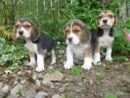 Beagle puppies for adoption. All healthy and have lovely marking