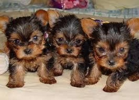 I have 1 female and two male Yorkie pups for sale.