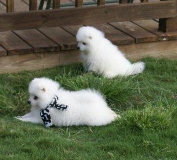 Pure  Japanese Splitz Puppies for adoption