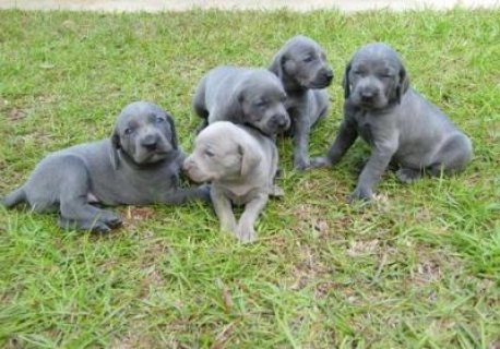 Purebred Silver and Blue Weimaraner puppies for adoption.