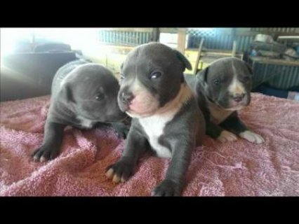 Purebred Blue English Staffoshire Puppies available purebred blu