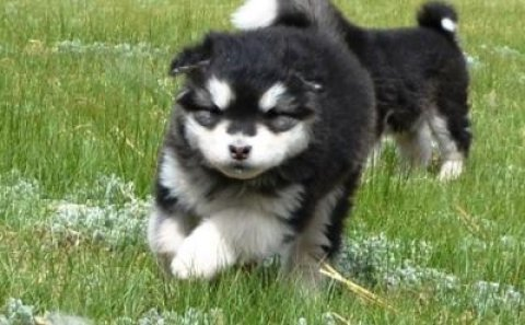 Outstanding alaskan malamute puppies available we do have both m