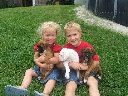 Cute Boxer puppies available,