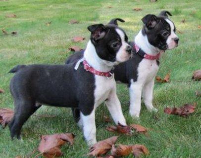 Champion Boston terrier Puppies Available ,I have 6 boston terri