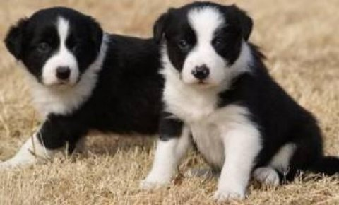 Litter of 9 beautiful Border Collie puppies for adoption.