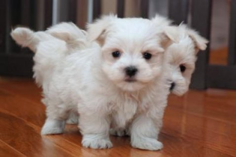 Snow white Maltese puppies for adoption