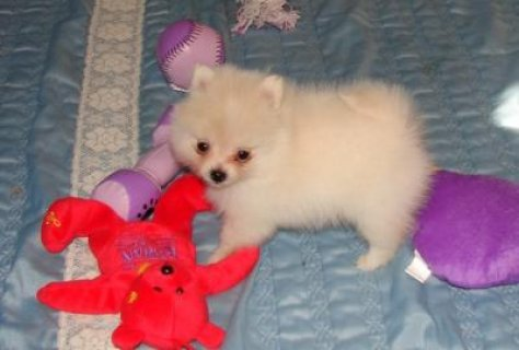 Lovable Pomeranian puppies for adoption , male and female.