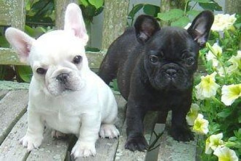 unbeatable French Bulldog Puppies Ready,