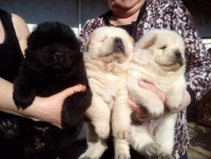 Chow chow puppies available male and female