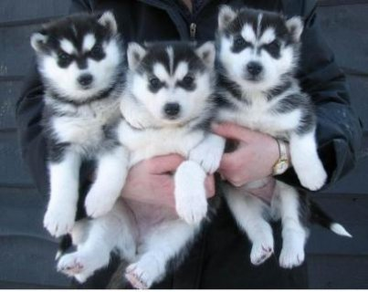 Blue Eyes Siberian Husky puppies available, We got two Siberian