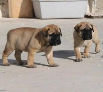 Tibetan Mastiff Puppies For Good Homes...