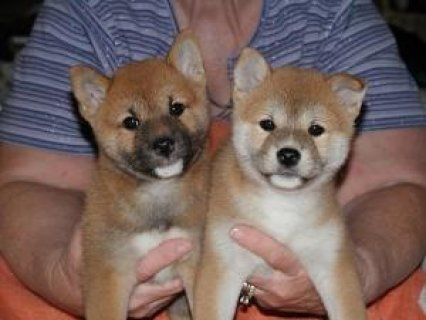 Purebred Shiba Inu puppies for sale