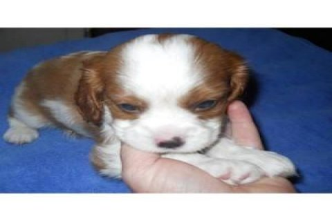 Gorgeous Cavalier King Charles Spaniel puppies