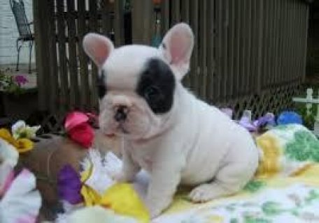 French Bulldog puppies available.