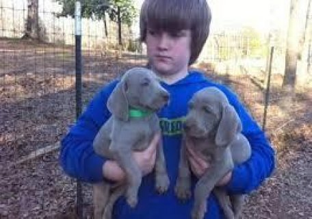 Cute lovely male and female  Weimaraner puppies for sale.