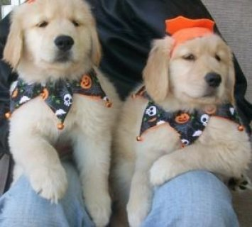 Adorable male and a female Golden Retriever