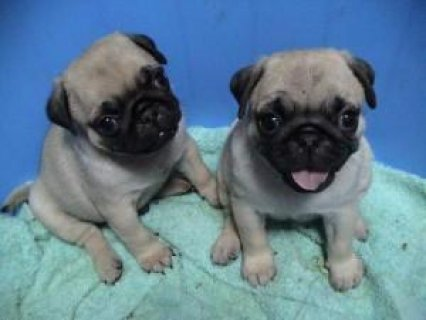 Cute male and female Pug puppies ready for sale now Please cont