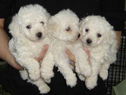 Pure Breed Male/Female Bichon Frise Puppies For Sale