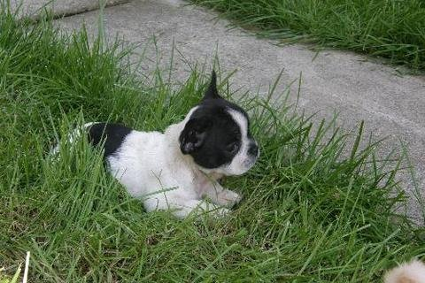 Gorgeous French Bulldog Puppies Available111