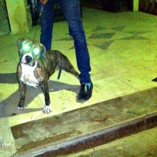 للبيع كلبة بيتبول بسعر خرافي