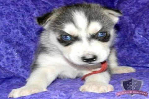 Siberian Husky Pup for Sale