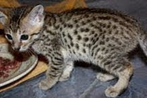 Cute male and female Savannah Kittens For Sale